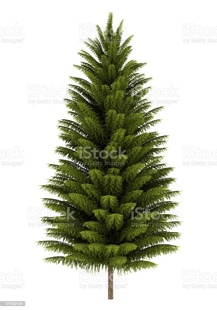 norway spruce tree isolated on white background stock photo