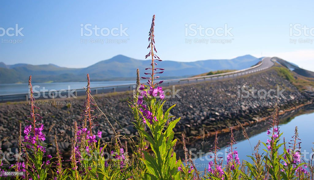 Norway. Willow-herb flowers against the well-known transatlantic stock photo