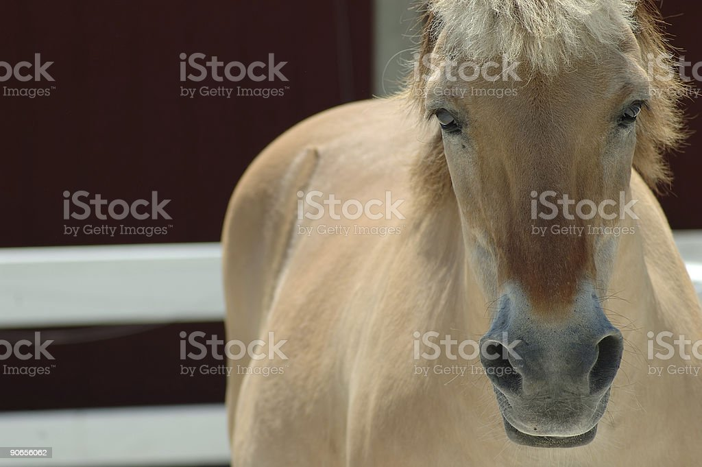 Norwegian Fjord Horse royalty-free stock photo