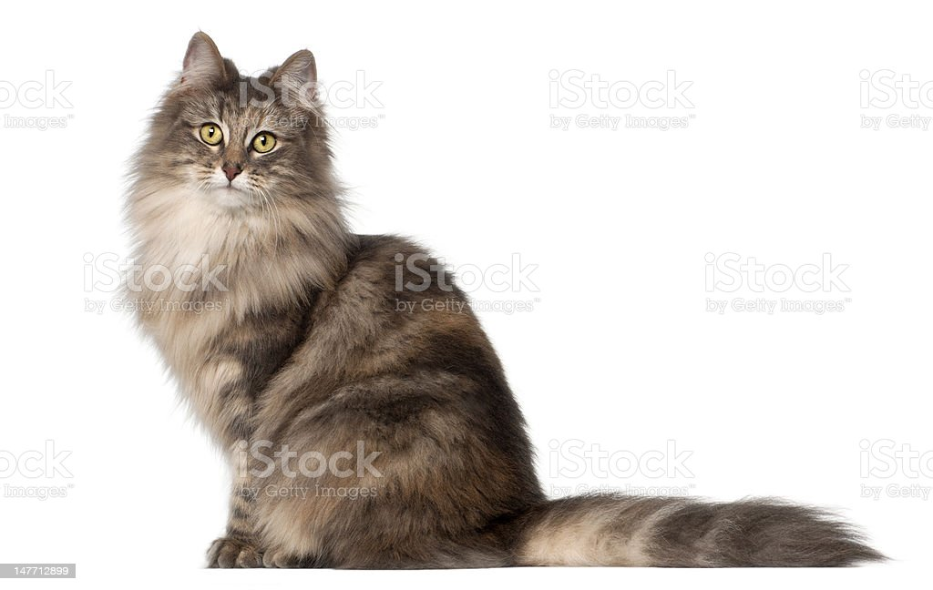 Norwegian Forest Cat, 1 and a half years old, sitting stock photo