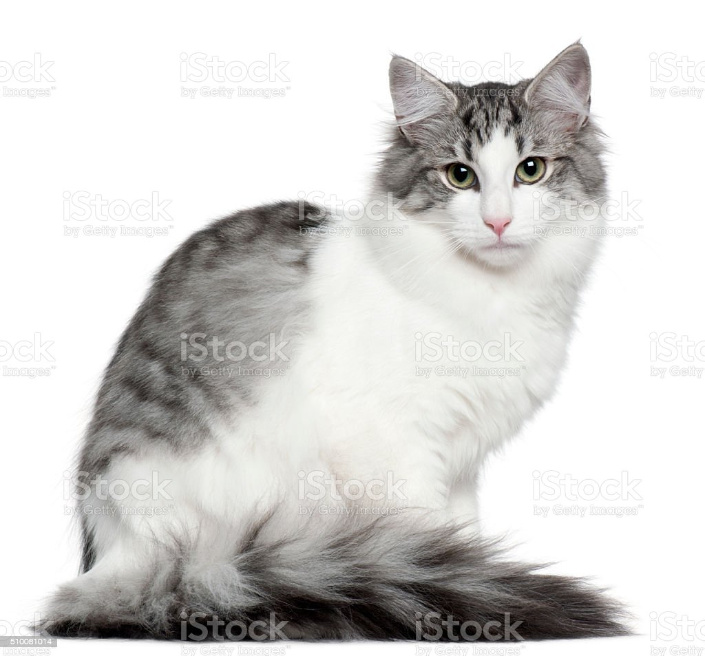 Norwegian Forest Cat, 5 months old, sitting stock photo