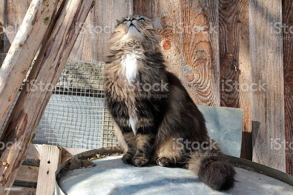 Norwegian Forest cat looks interested to top stock photo