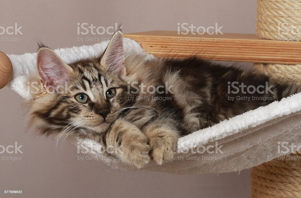 Norwegian forest cat lying on a scratching post stock photo