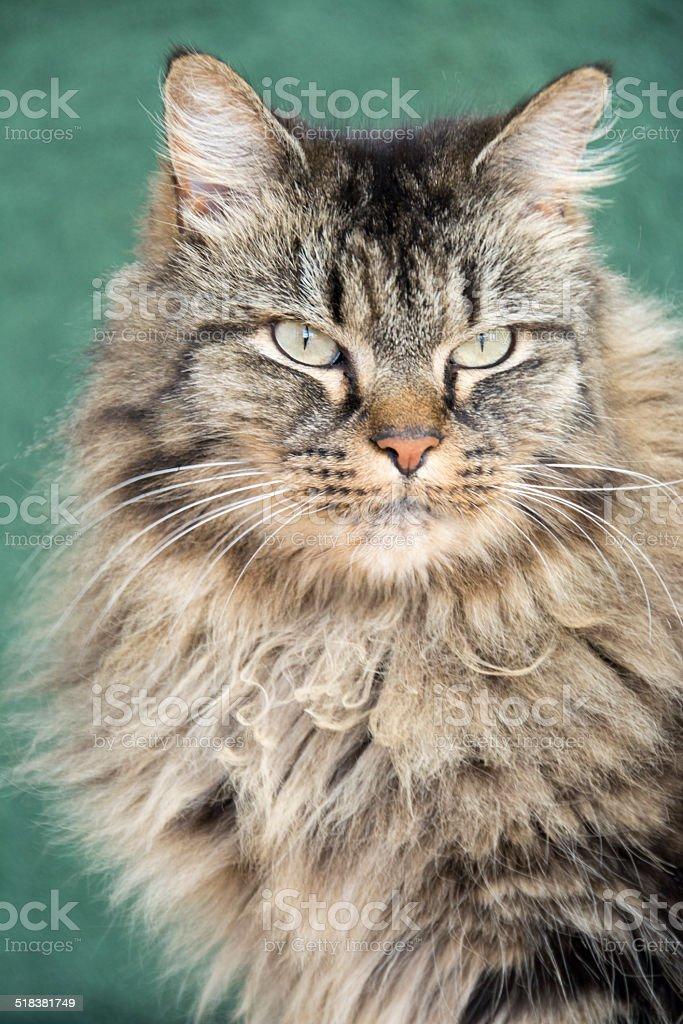 Gato noruego del bosque foto de stock libre de derechos