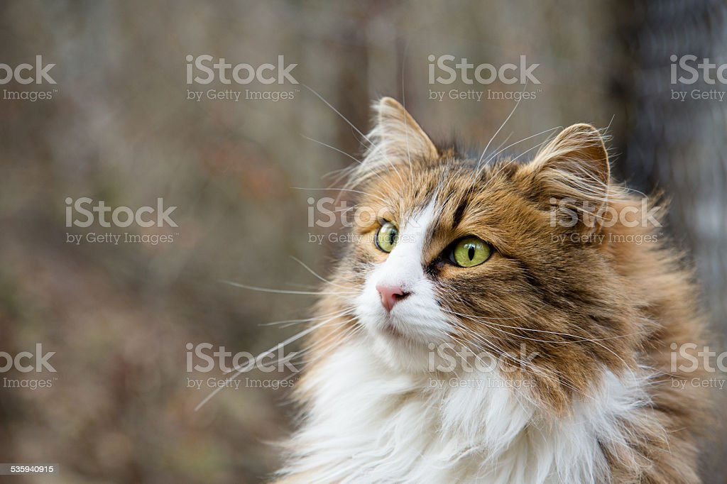 Norwegian forest cat stock photo