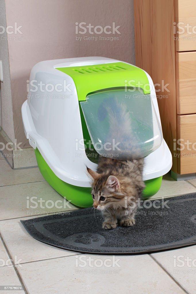 norwegian forest kitten at cat toilet stock photo