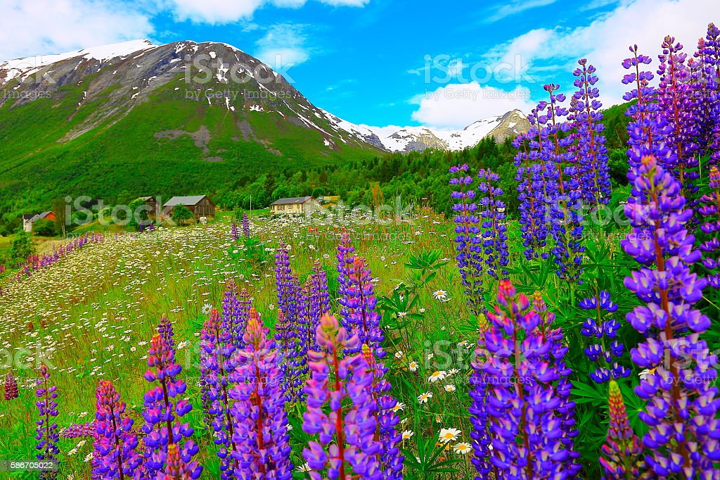 Norwegian idyllic countryside farms, lupins flowerbed, Norway, Nordic countries stock photo