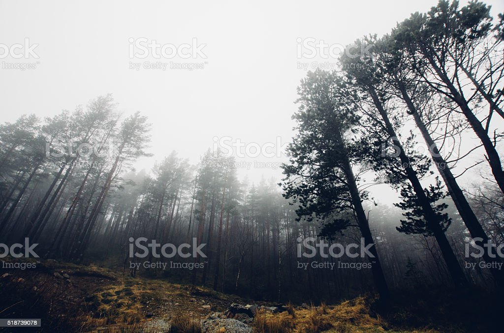 Norwegian pine tree forest in fog stock photo