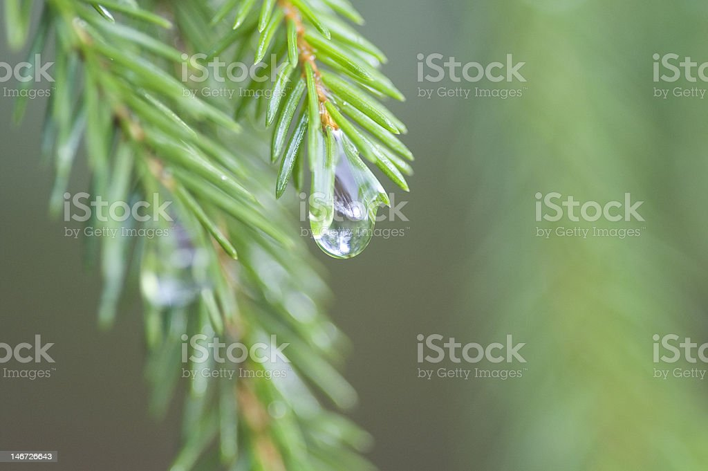 Norwegian spruce with raindrop stock photo