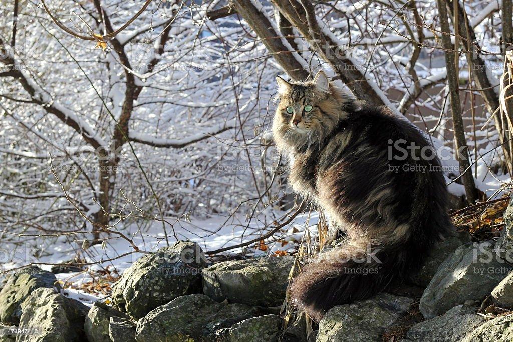 Norwegian wood cat in the winter stock photo