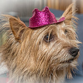 Norwich Terrier Wearing Pink Hat