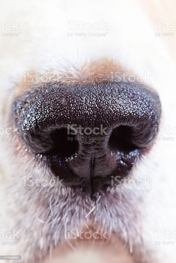 nose of a beagle stock photo