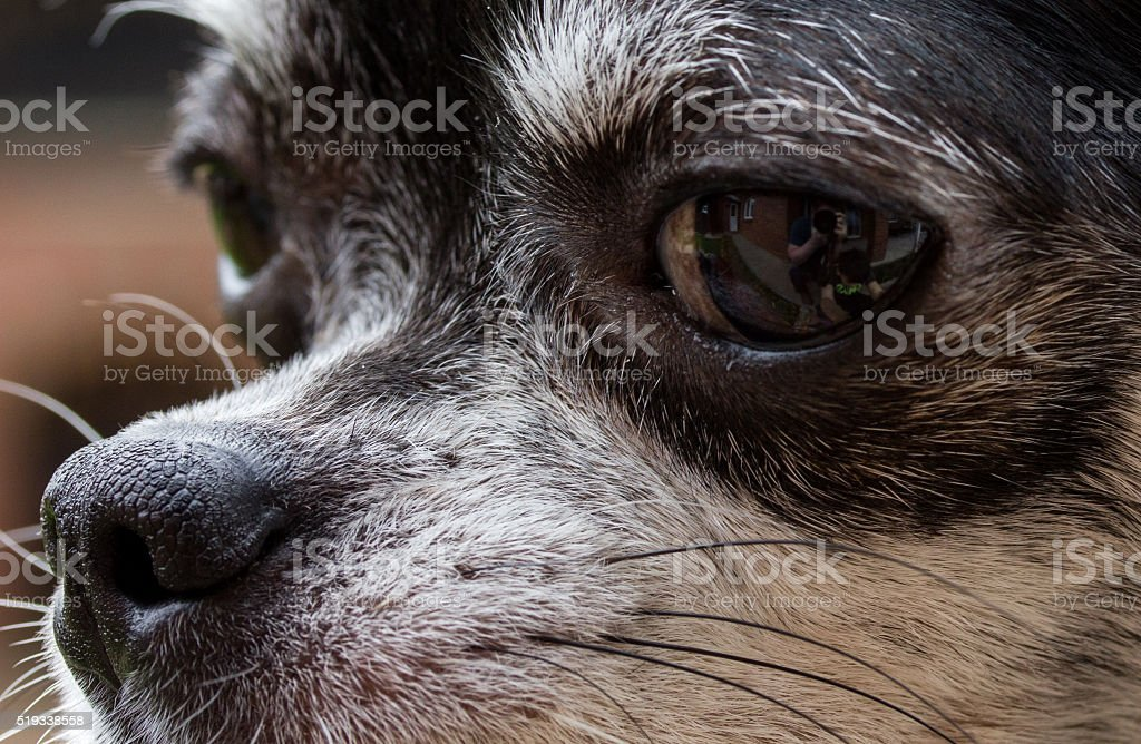 Nose of dog, my lovely chihuahua. stock photo