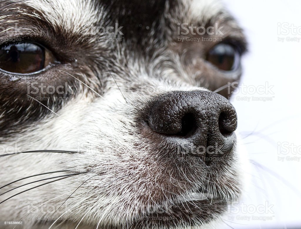 Nose of dog, my lovely chihuahua stock photo