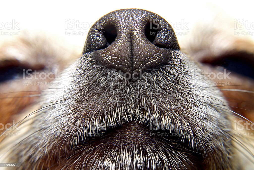 Nose of dog stock photo