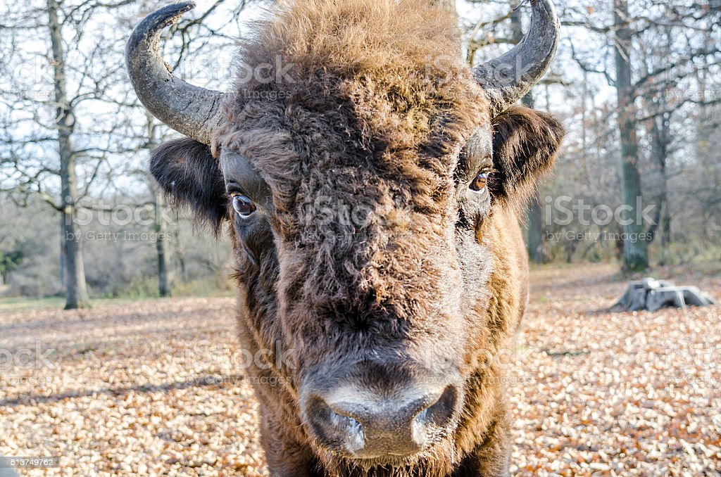 Nose to nose with European Bison stock photo