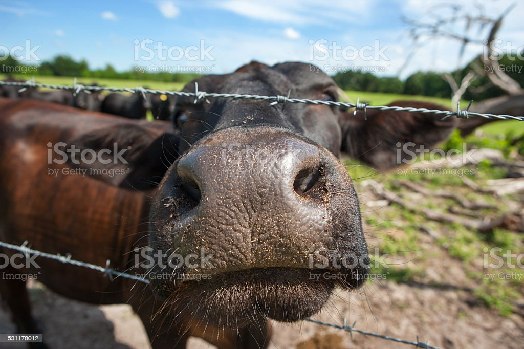 nosey Cow close up stock photo