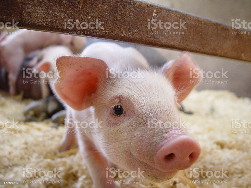 Nosey Pig stock photo