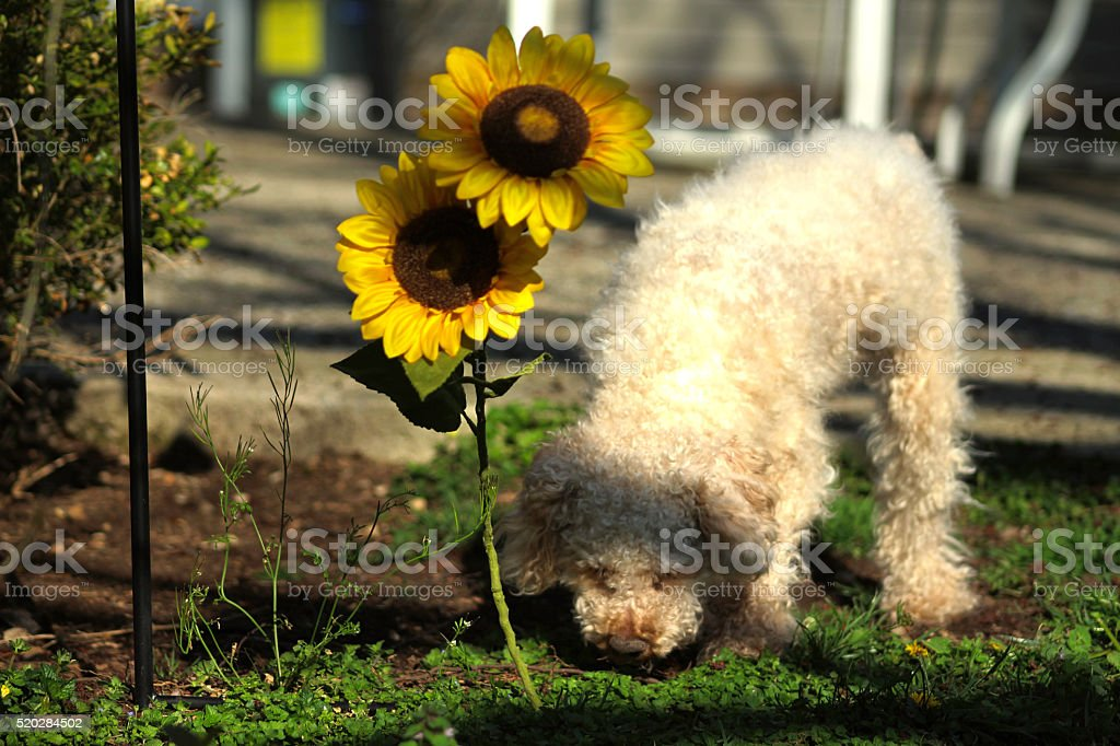 Nosiey Poodle royalty-free stock photo