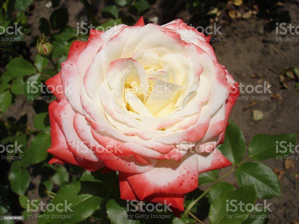 Nostalgic hybrid tea white colored pink rose 'Nostalgie' stock photo