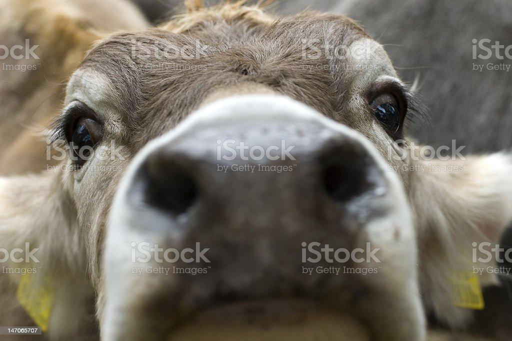 nosy calf royalty-free stock photo