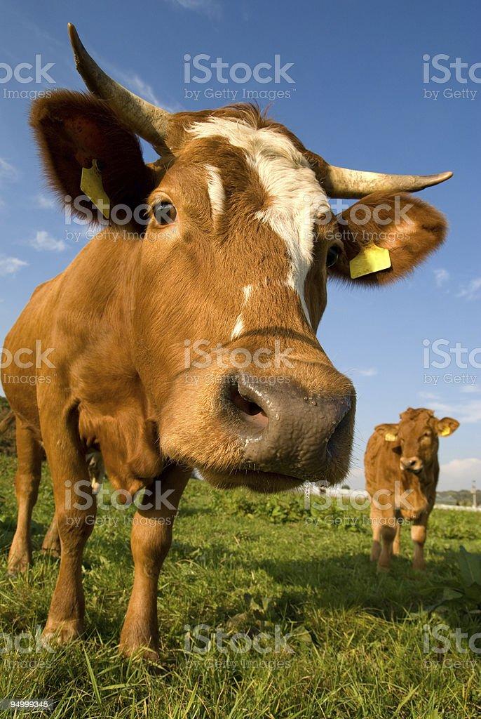 nosy cow royalty-free stock photo