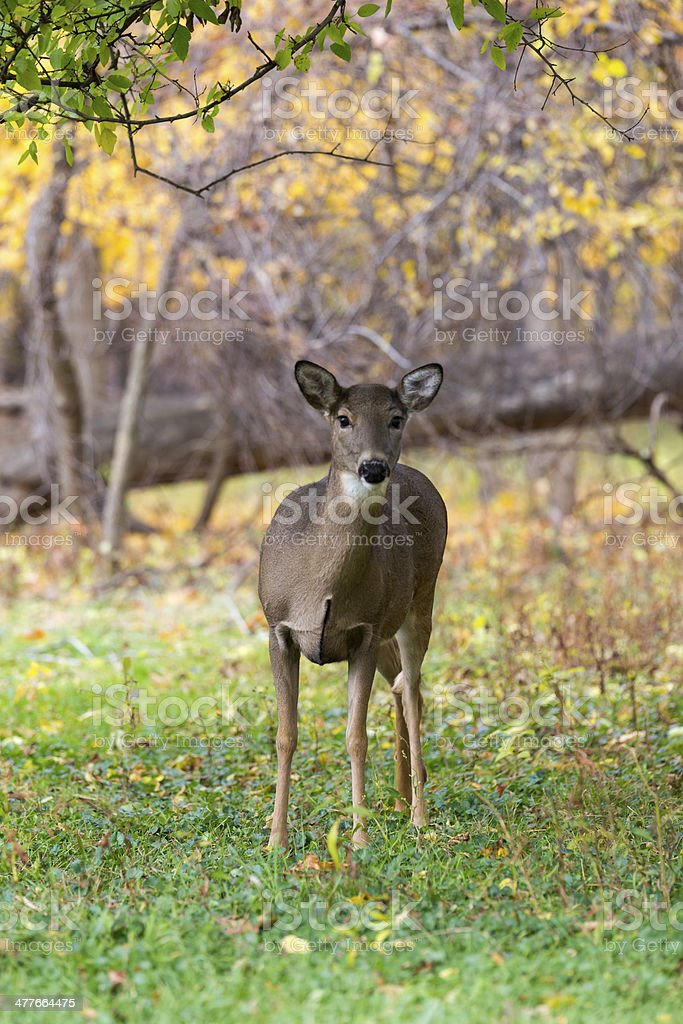 Nosy deer royalty-free stock photo
