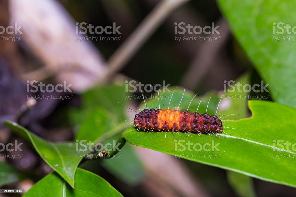 Nosymna Stipella caterpillar stock photo