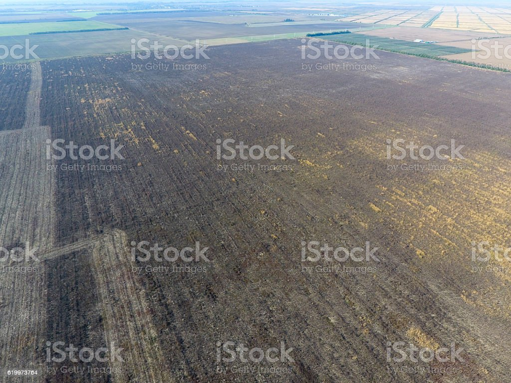Not a plowed field. Deadwood from sunflower stalks and weeds stock photo