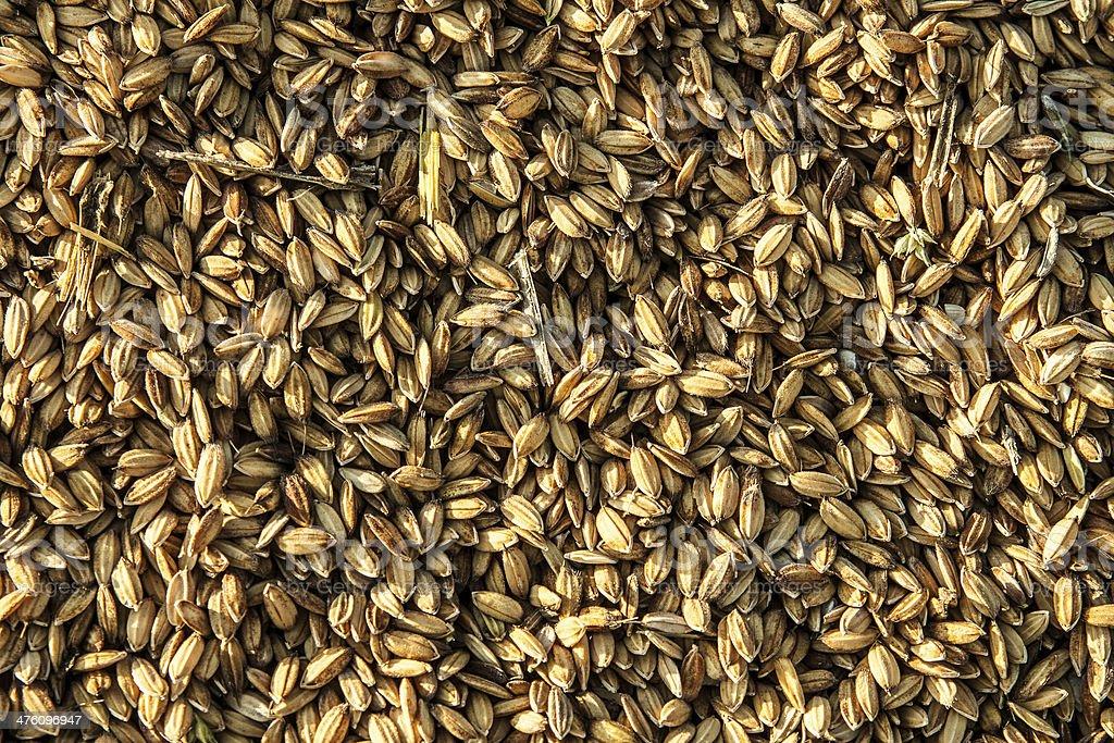 Not peeled rice stock photo