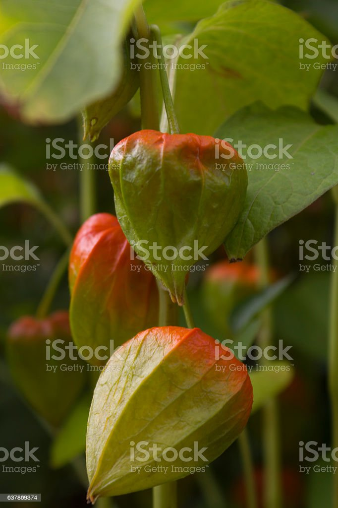 not ripe ground cherry stock photo