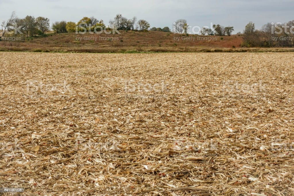 No-till corn field stock photo
