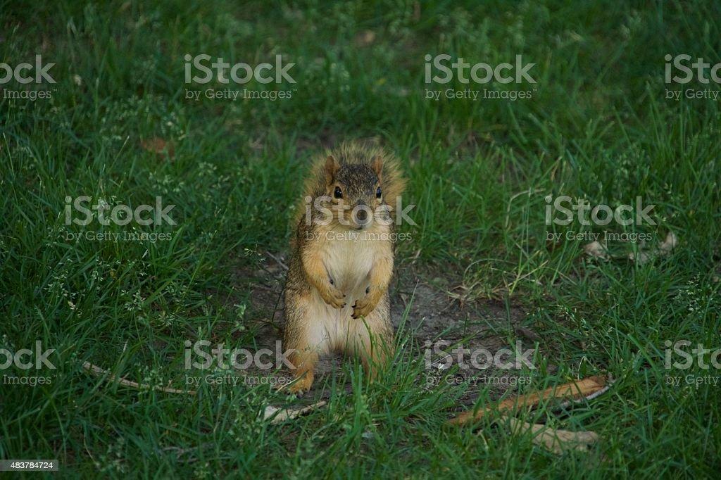 Notre Dame Squirrel stock photo