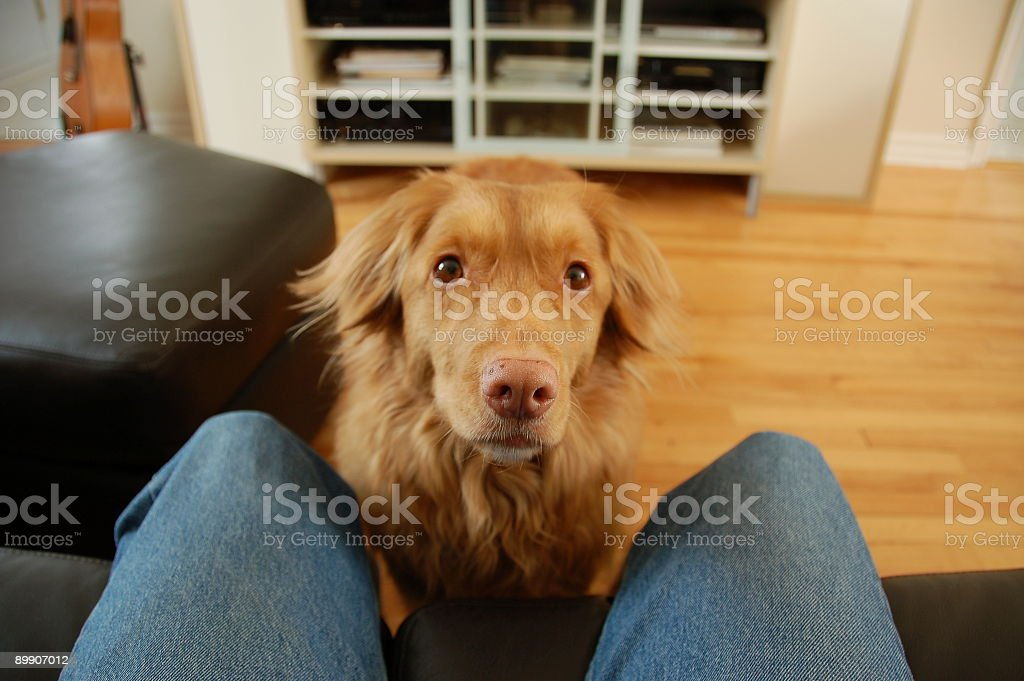 Nova Scotia Duck Tolling Retriever asking for walk. stock photo