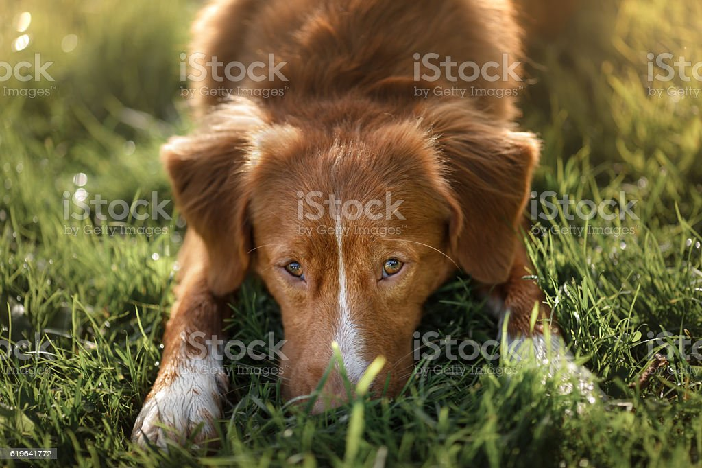 Nova Scotia Duck Tolling Retriever Dog lies in the grass stock photo