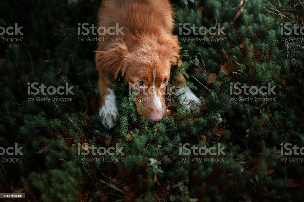 Nova Scotia Duck Tolling Retriever Dog lying in the grass stock photo