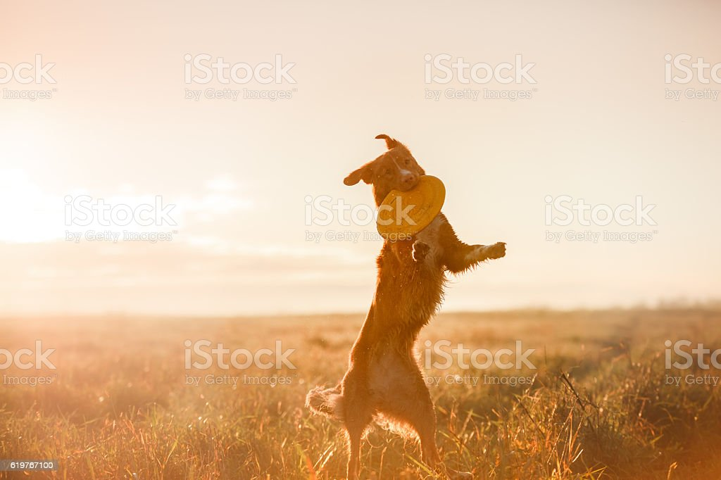 Nova Scotia Duck Tolling Retriever Dog playing in field stock photo