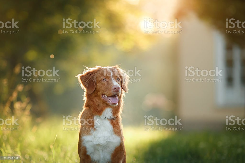 Nova Scotia Duck Tolling Retriever Dog sitting on the grass stock photo