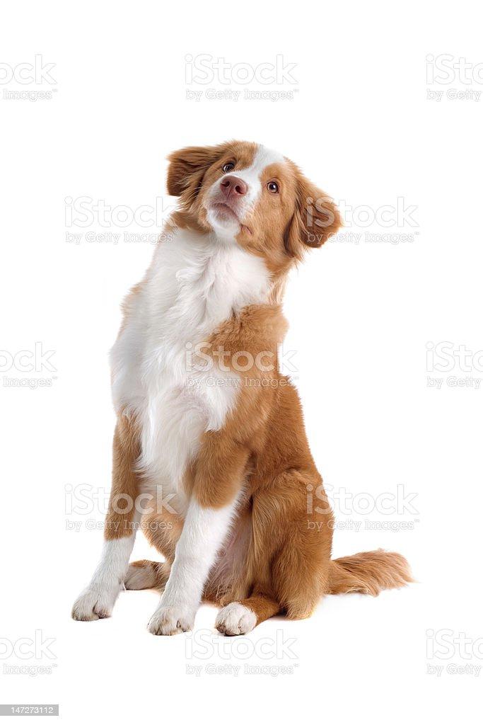 Nova Scotia Duck Tolling Retriever puppy royalty-free stock photo