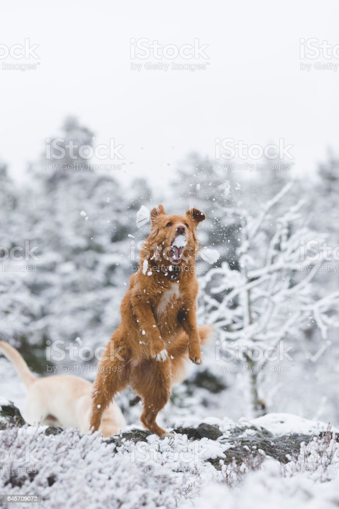 nova scotia toller dog walking stock photo