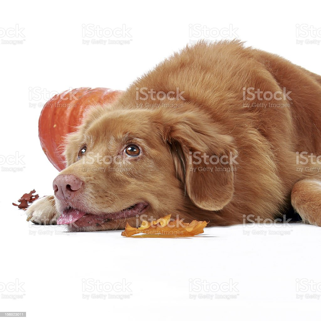 novia scotia duck tolling retriever royalty-free stock photo
