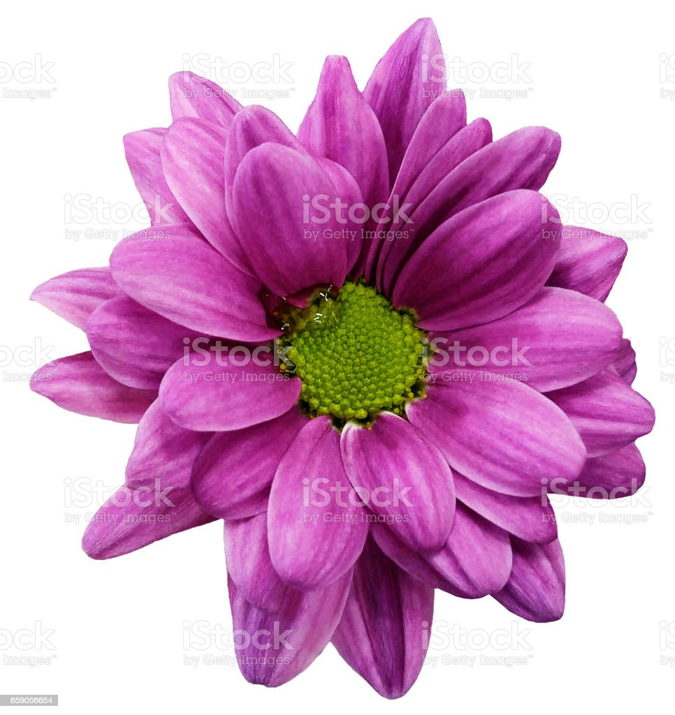 'nPink  chrysanthemum flower isolated on white  background with clipping path.   Closeup.  no shadows.  For design.  Nature. stock photo