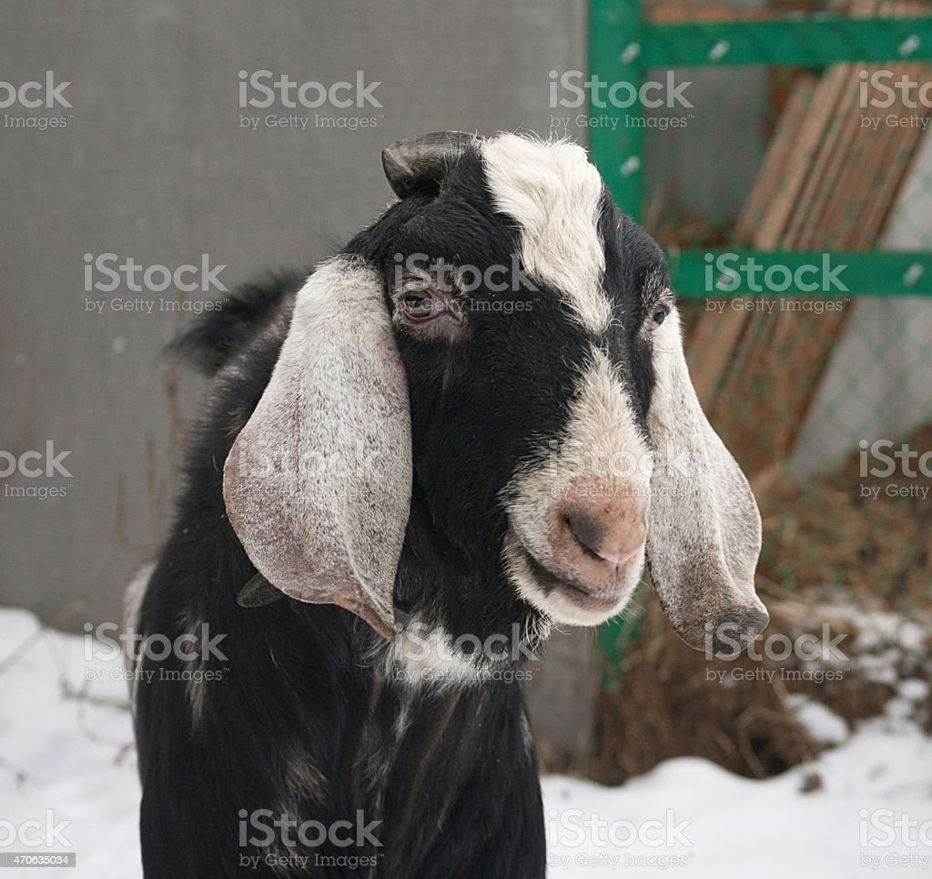 Nubian black goat standing on snow stock photo