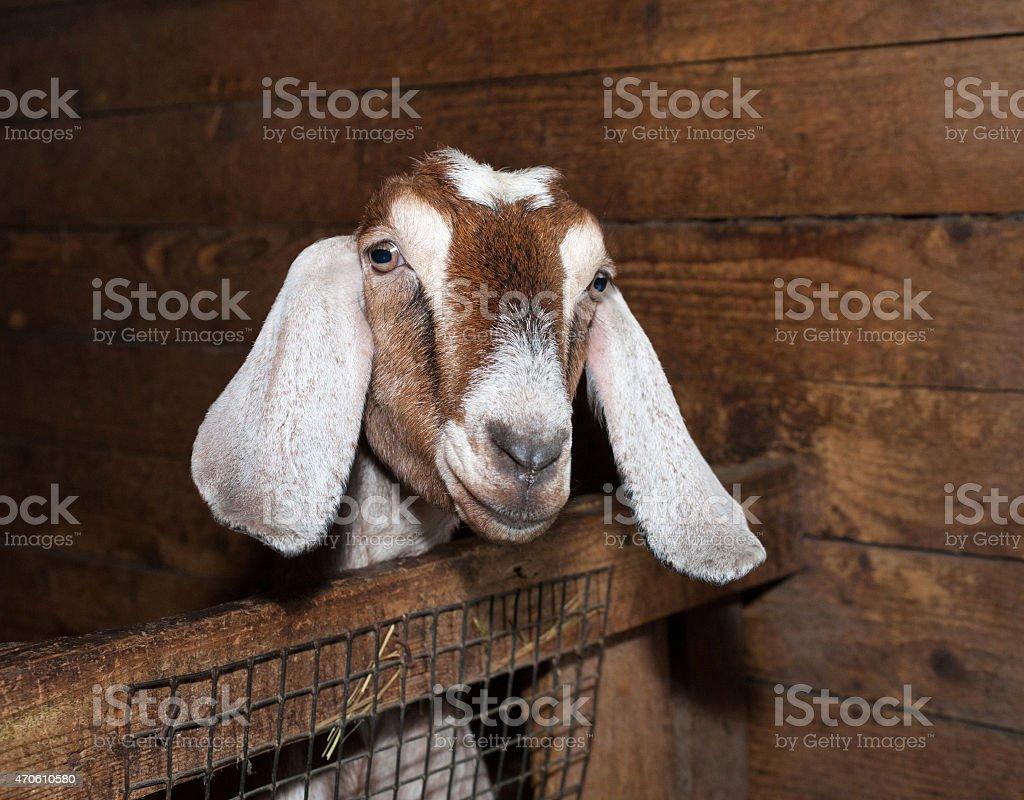 Nubian brown goat in barn stock photo