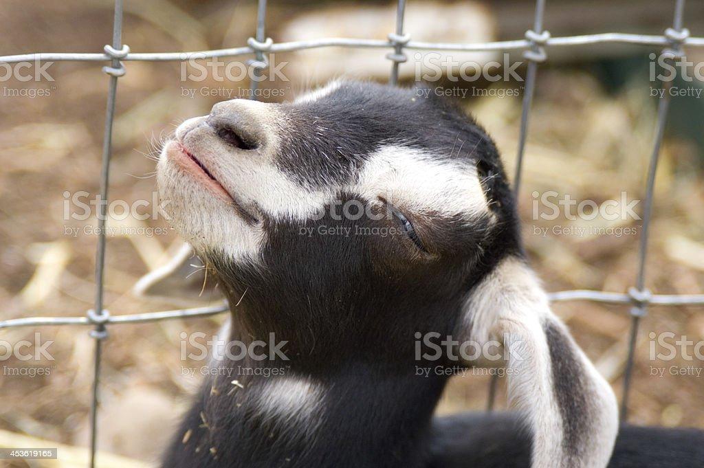 Nubian Goat Kid royalty-free stock photo