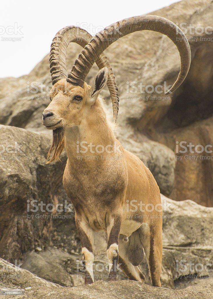 Nubian Ibex in wildlife. stock photo