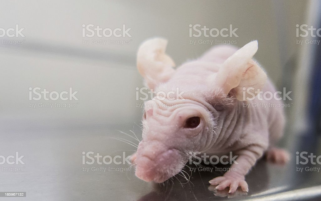 Nude mouse for research royalty-free stock photo