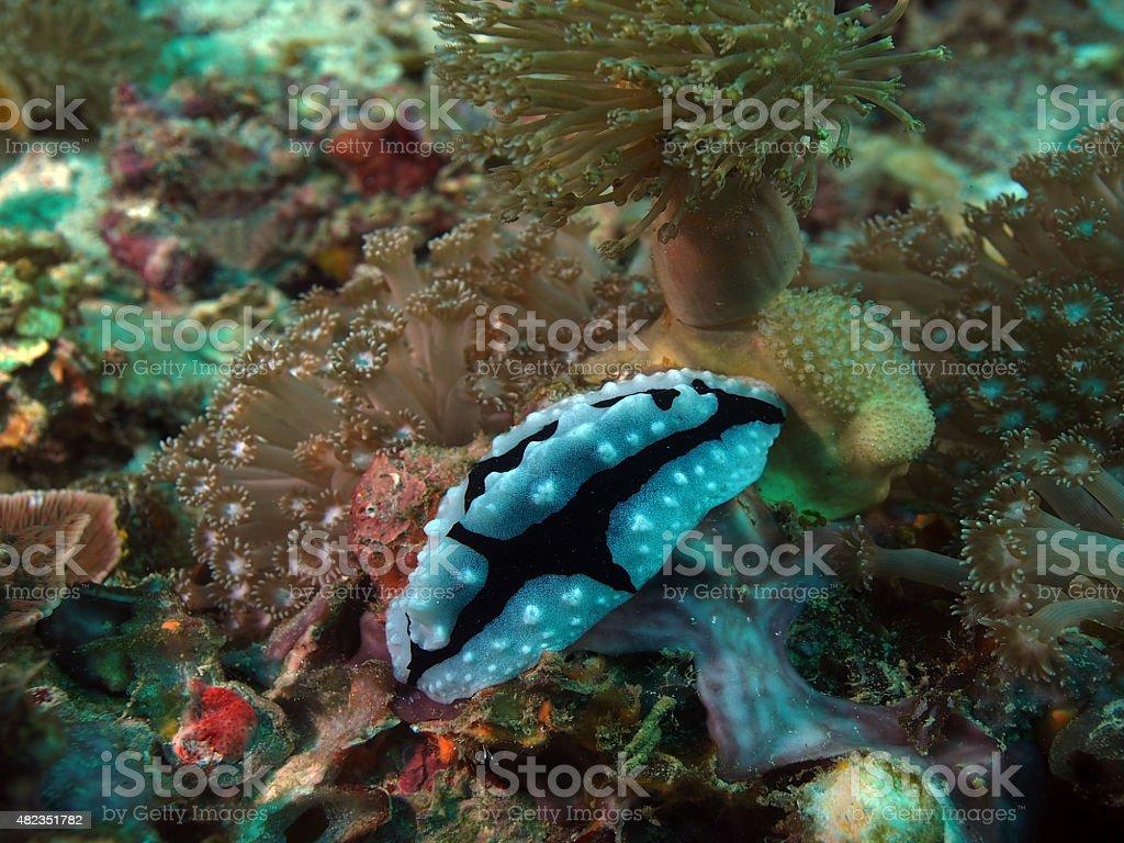 Nudibranch Aldisa williamsi in Papua stock photo