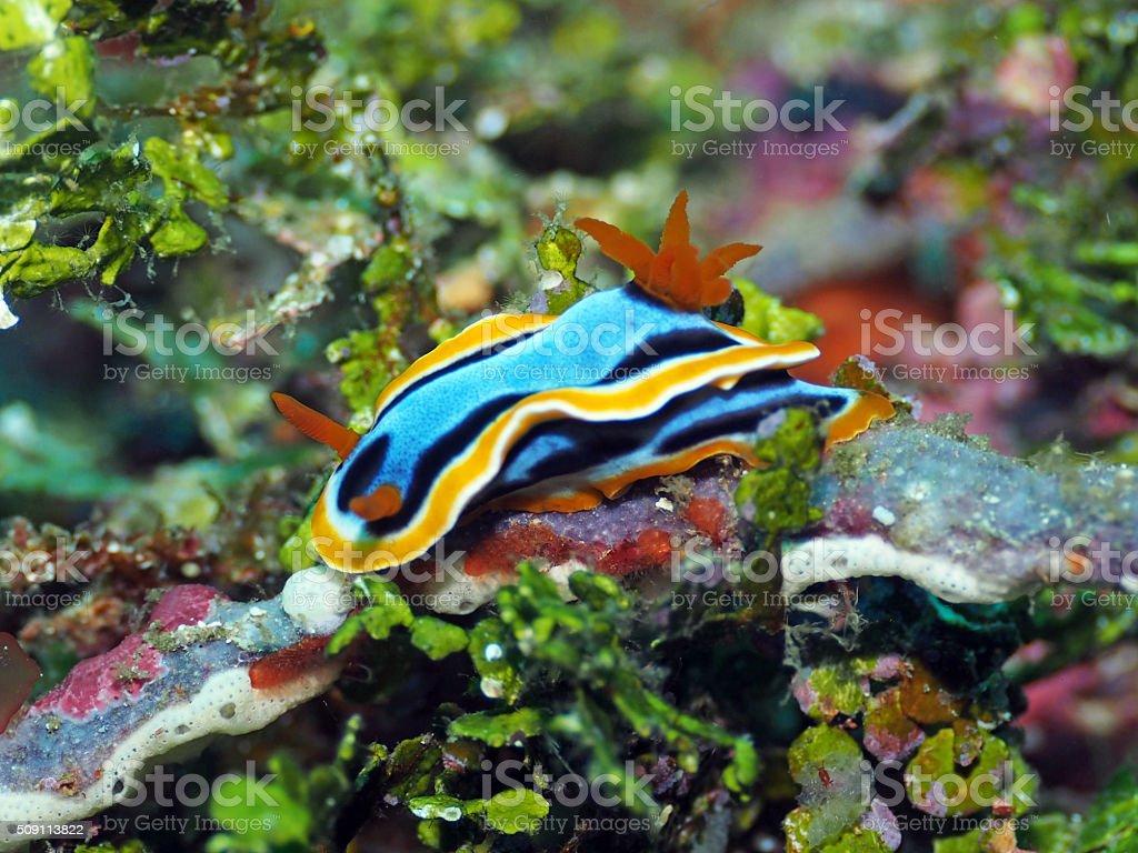 Nudibranch Chromodoris annae stock photo