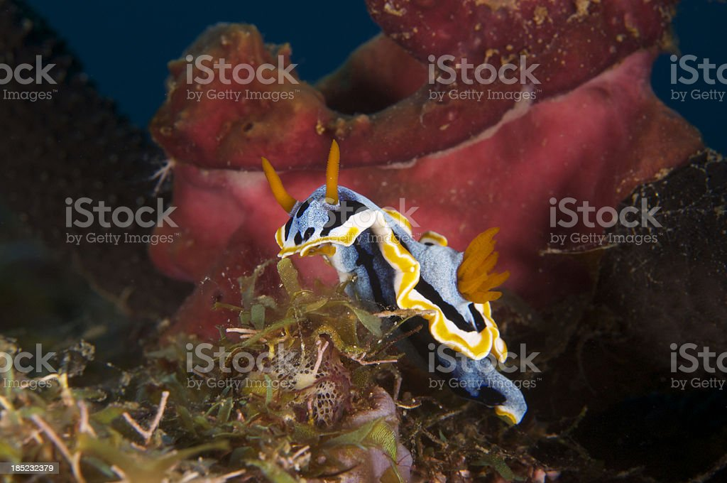 Nudibranch Chromodoris stock photo